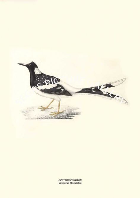 Fine art print of the SPOTTED FORKTAIL - Enicurus Maculatiis by John Gould (1831) reproduced by Segas Picture Gallery.